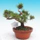 Pinus thunbergii - Borovice thunbergova - 3/4