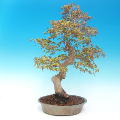 Venkovní bonsai - Acer pamnatum -Javor dlanitolistý - 3