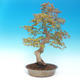 Venkovní bonsai - Acer pamnatum -Javor dlanitolistý - 3/5