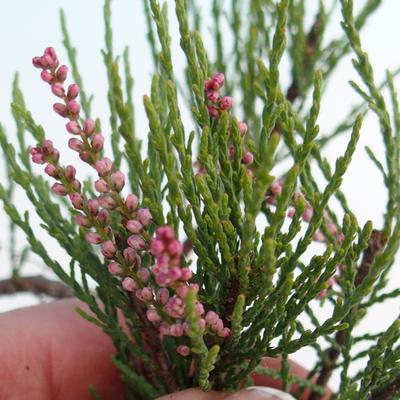 Vonkajšie bonsai - Tamaris parviflora Tamariška malolistá 408-VB2019-26797 - 3