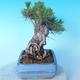 Pinus thunbergii - Borovice thunbergova - 3/5