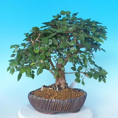 Venkovní bonsai -Carpinus CARPINOIDES - Habr korejský - 3