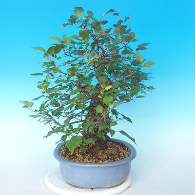 Venkovní bonsai - Japonská hrušeň NASHI - Pyrus pyrifolia - 3