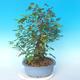 Venkovní bonsai - Japonská hrušeň NASHI - Pyrus pyrifolia - 3/6