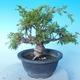 Venkovní bonsai - Juniperus chinensis ITOIGAWA - Jalovec čínský - 3/6