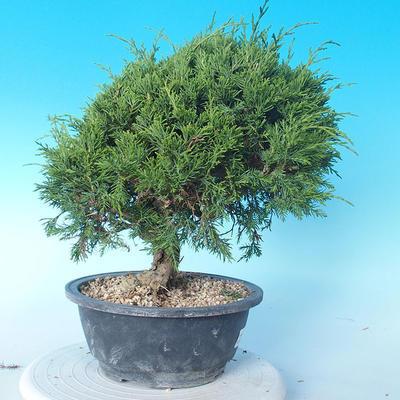 Venkovní bonsai - Juniperus chinensis ITOIGAWA - Jalovec čínský - 3