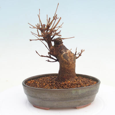 Vonkajšie bonsai - Javor Buergerianum - Javor Burgerův - 3