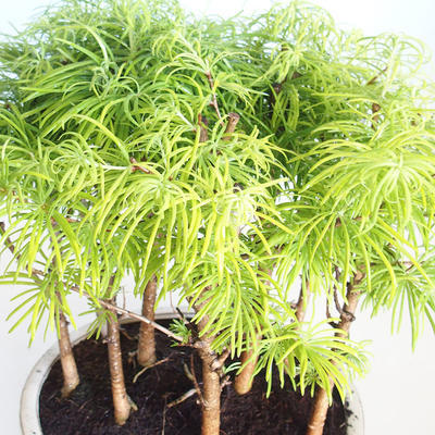 Venkovní bonsai-LESÍK - Metasequoia glyptostroboides - Metasekvoje čínská VB2020-823 - 3
