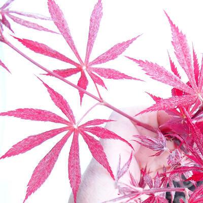 Venkovní bonsai - Acer palm. Atropurpureum-Javor dlanitolistý červený - 3