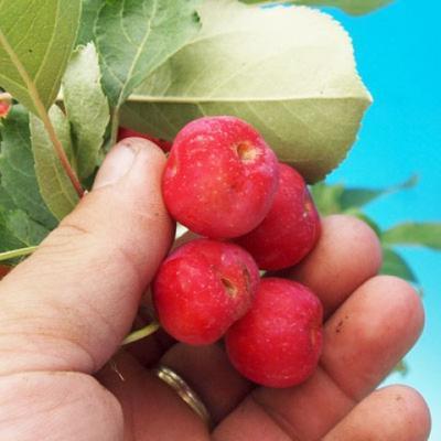 Venkovní bonsai - Malus halliana -  Maloplodá jabloň - 3