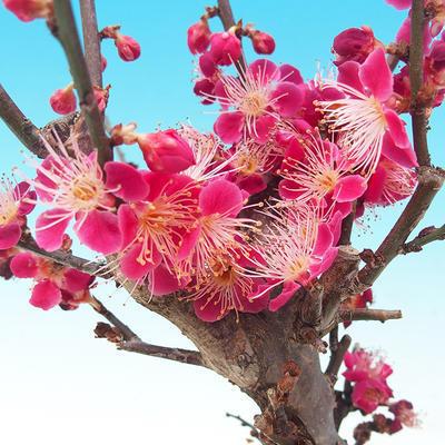 Venkovní bonsai -Japonská meruňka - Prunus Mume - 3