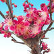 Venkovní bonsai -Japonská meruňka - Prunus Mume - 2/5