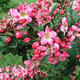 Pokojová bonsai -Wscallonia sp. - Zábluda - 3/3