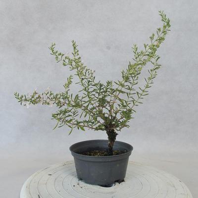 Vonkajšie bonsai - Saturejka horská - Satureja montana - 3