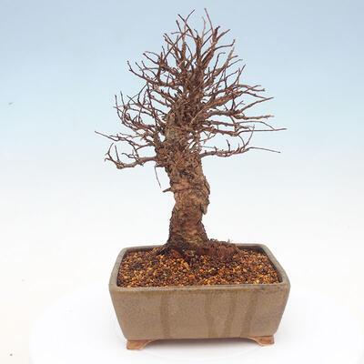 Vonkajšie bonsai - Zelkova - Zelkova Nirom - 3