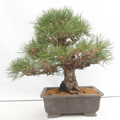 Vonkajšie bonsai - Ginko dvojlaločné - Ginkgo biloba - 3