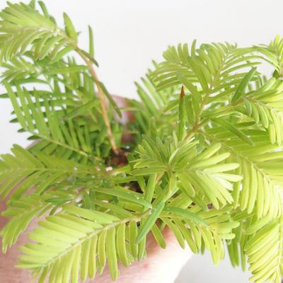 Venkovní bonsai-LESÍK - Metasequoia glyptostroboides - Metasekvoje čínská VB2020-816 - 3