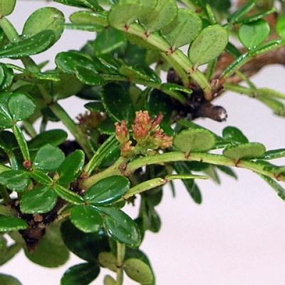 Izbová bonsai - Zantoxylum piperitum - piepor - 3