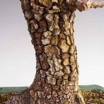 Vonkajšie bonsai -Javor korkový VB40426 - 3