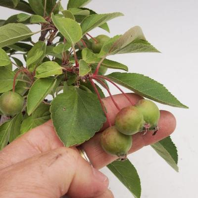 Venkovní bonsai -Maloplodá jabloň VB50100 - 3