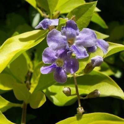 Izbová bonsai - Durant erecta Aurea - 3