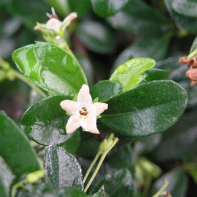 Pokojová bonsai - Carmona macrophylla - Čaj fuki - 3