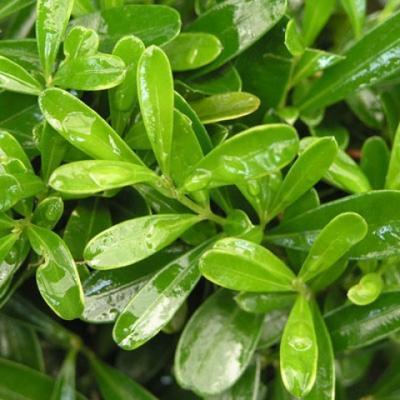 Pokojová bonsai - Buxus harlandii -korkový buxus - 3
