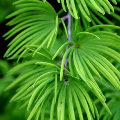 Venkovní bonsai -Pseudolarix amabis-Pamodřín - 3