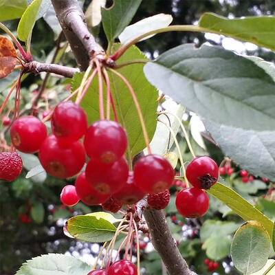 Venkovní bonsai - Malus sargentii -  Maloplodá jabloň - 3