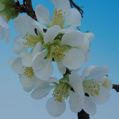 Venkovní bonsai - Chaenomeles superba jet trail -Kdoulovec bílý - 3