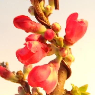 Venkovní bonsai - Chaneomeles japonica - Kdoulovec japonský červený - 3