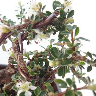 Vonkajšia bonsai-Cotoneaster horizontalis-Skalník - 3