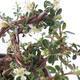 Vonkajšia bonsai-Cotoneaster horizontalis-Skalník - 3/3