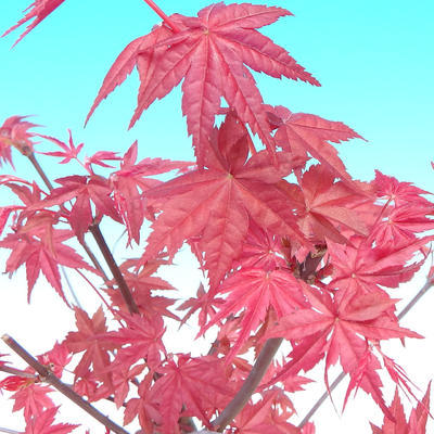 Venkovní bonsai - Javor palmatum DESHOJO - Javor dlanitolistý - 3