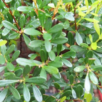 Pokojová bonsai - Syzygium - Pimentovník - 3