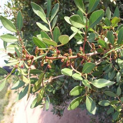 Pokojová bonsai -  Pistácie - 3
