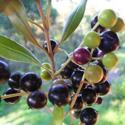 Pokojová bonsai - Olea europaea sylvestris -Oliva evropská drobnolistá - 3