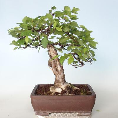 Venkovní bonsai - Zelkova - 4