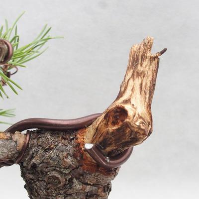 Vonkajšie bonsai - Pinus sylvestris - Borovica lesná - 4