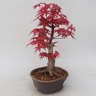 Vonkajšie bonsai - Javor palmatum DESHOJO - Javor dlaňolistý - 4