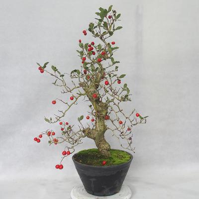 Venkovní bonsai - Hloh bílé květy - Crataegus laevigata - 4