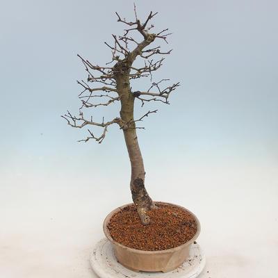 Venkovní bonsai - Hloh jednosemený - 4