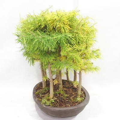 Venkovní bonsai - Pseudolarix amabilis - Pamodřín - lesík 9 stromů - 4