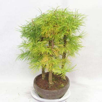 Venkovní bonsai - Pseudolarix amabilis - Pamodřín - lesík 5 stromů - 4