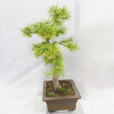 Venkovní bonsai - Pseudolarix amabilis - Pamodřín - 4