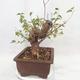 Vonkajšie bonsai -Mahalebka - Prunus mahaleb - 4/5