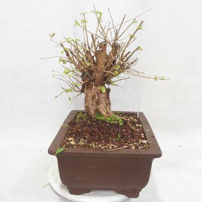 Vonkajšie bonsai -Mahalebka - Prunus mahaleb - 4