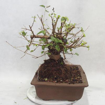 Venkovní bonsai -Mahalebka - Prunus mahaleb - 4