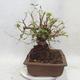 Venkovní bonsai -Mahalebka - Prunus mahaleb - 4/5