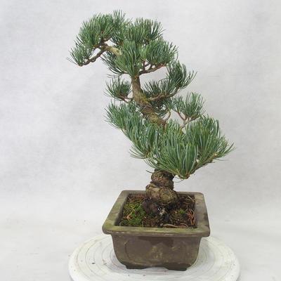 Venkovní bonsai - Pinus parviflora - Borovice drobnokvětá - 4